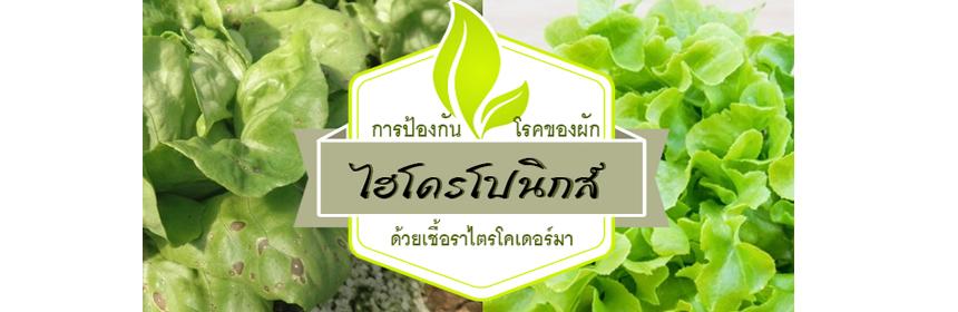 ป้องกันโรคของผักไฮโดรโปนิกส์ด้วยเชื้อราไตรโคเดอร์มา