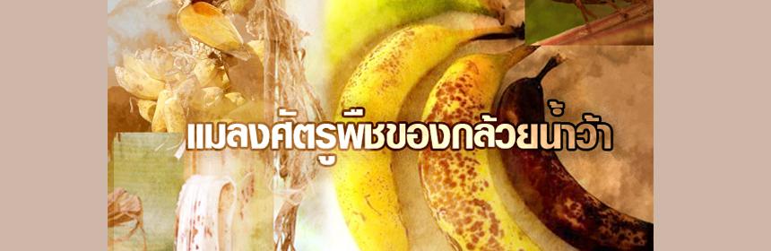 แมลงศัตรูพืชของกล้วยน้ำว้า